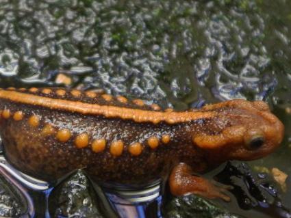 Emporer Newt for sale