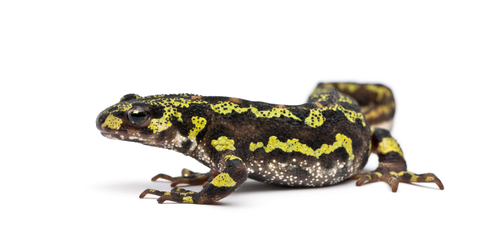 Marbled Newt for sale - Triturus marmoratus