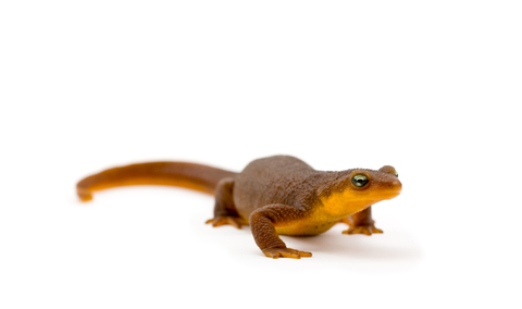 Rough Skinned Newt for sale - Taricha granulosa