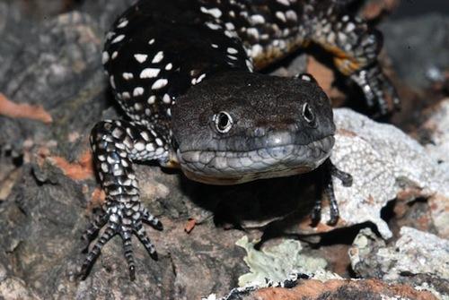 Arboreal alligator lizard for sale - Abronia deppii