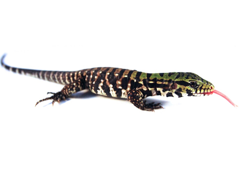 Argentine black and white tegu for sale - Tupinambis merianae