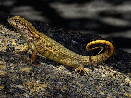 Curlytail lizard for sale