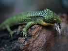 Buy an Abronia graminea lizard
