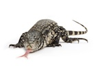 Buy a Columbian Tegu