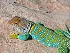 Buy an Eastern Collared lizard