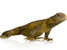 Buy an Egyptian uromastyx aegyptia