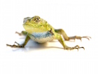 Buy an Emerald Swift Lizard