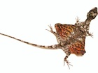 Buy a Flying Dragon lizard