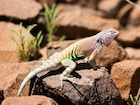 Buy an Earless Lizard