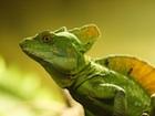 Buy a Green Basilisk