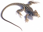 Buy a Leopard Lizard