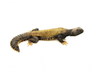 Buy a Mali uromastyx maliensis