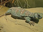 Buy an Ocellated uromastyx