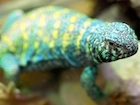 Buy an Ornate uromastyx ornata