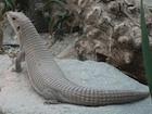 Buy a Plated lizard