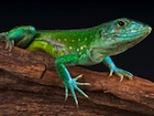Buy a Rainbow Whiptail lizard