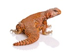Buy a Red NIger uromastyx