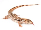 Buy a Red Tegu