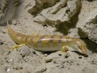 Buy a Sandifish Lizard
