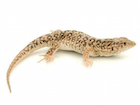 Buy a Steppe Runner Lizard