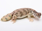Buy a uromastyx thomasi