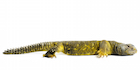 Buy a Yellow NIger uromastyx