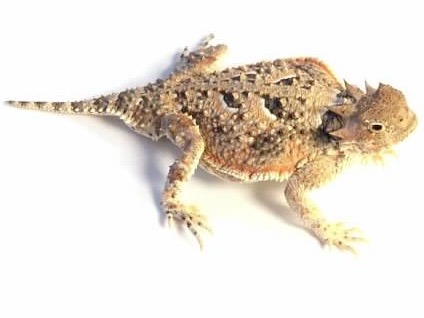 Desert horned lizard for sale