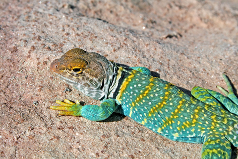 Eastern Collared lizard for sale - Crotaphytus collaris