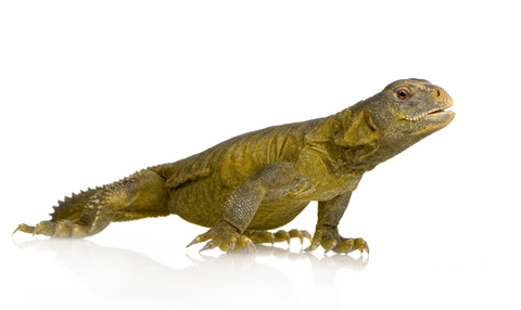 Egyptian Uromastyx for sale