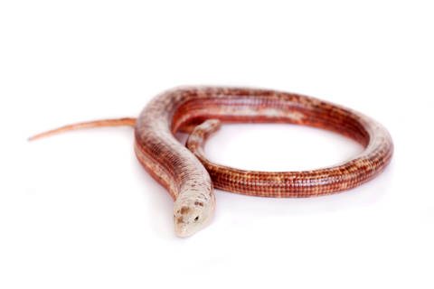 European legless lizard for sale - Pseudopus apodus