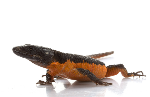 Flame belly girdle tail lizard for sale - Cordylus mossambicus