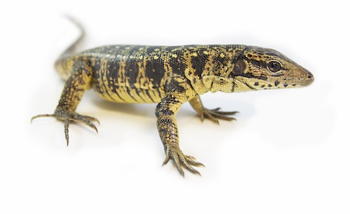 Golden tegu for sale - Tupinambis teguixin