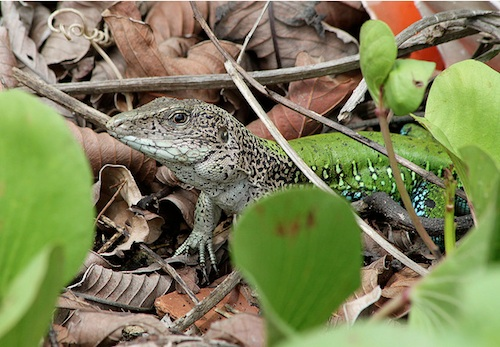 Green ameiva for sale