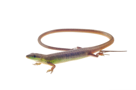 Long-tailed Grass lizard for sale