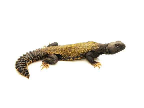 Mali Uromastyx for sale