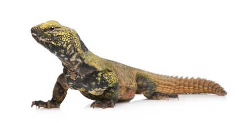 Moroccan Uromastyx for sale