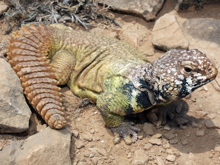 Rainbow Uromastyx for sale - benti