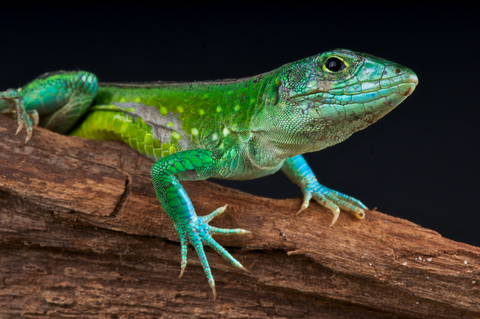 rainbow whiptail for sale reptiles for sale
