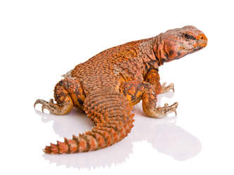 Red Niger Uromastyx for sale
