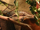 Buy an African Rock python