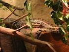 Buy an African Rock python