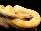 Buy an Albino Burmese python