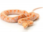 Buy albino lavender Reticulated python