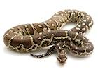 Buy an Angolan Python
