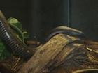 Buy a Calabar python
