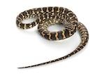 Buy a Carpet python - Morelia spilota
