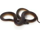 Buy a D'alberts python