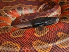 Buy a Red Blood python