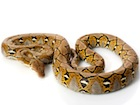 Buy a Reticulated python