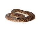 Buy a Spotted python